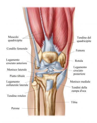 anatomia del ginocchio menisco anteriore posteriore