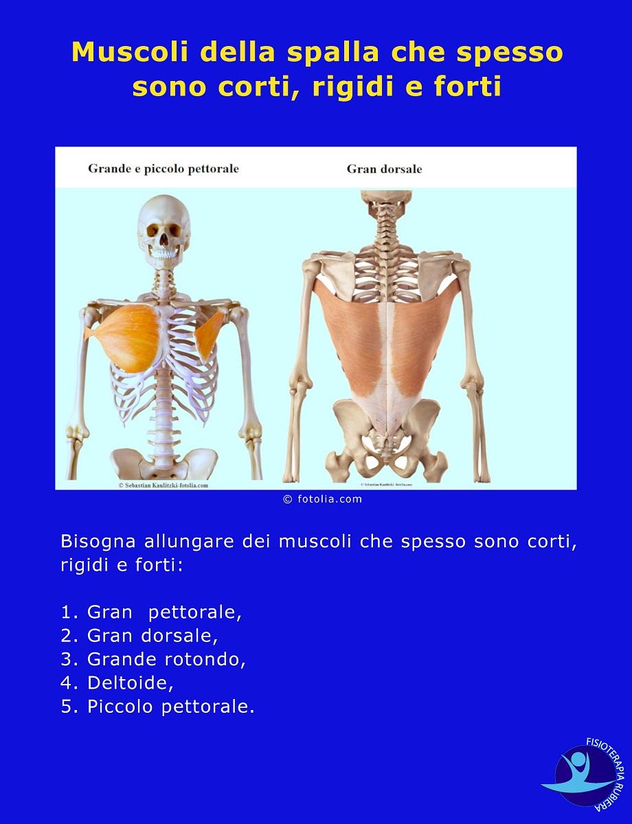 Muscoli della spalla che spesso sono corti, rigidi e forti