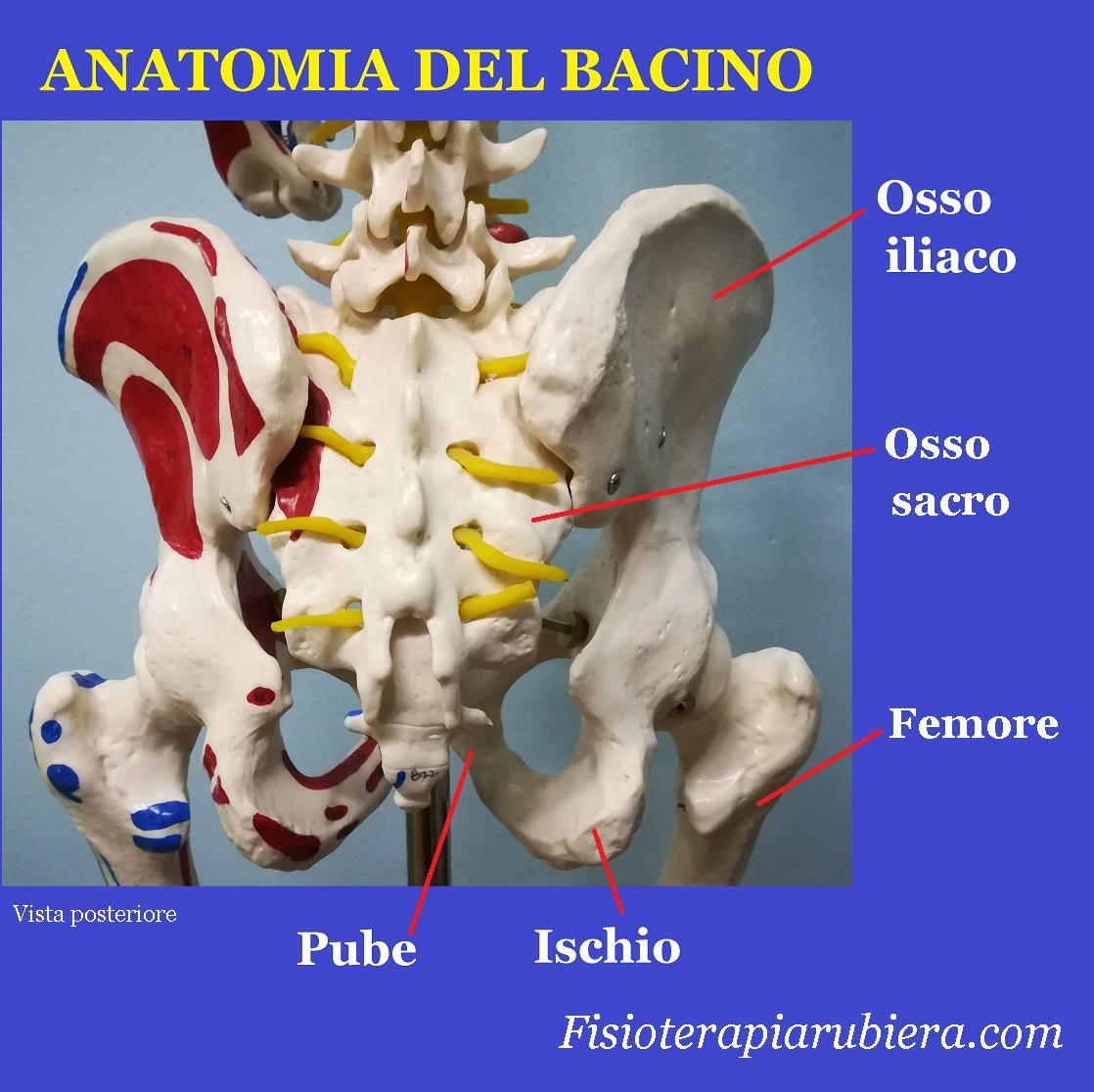 anatomia-bacino