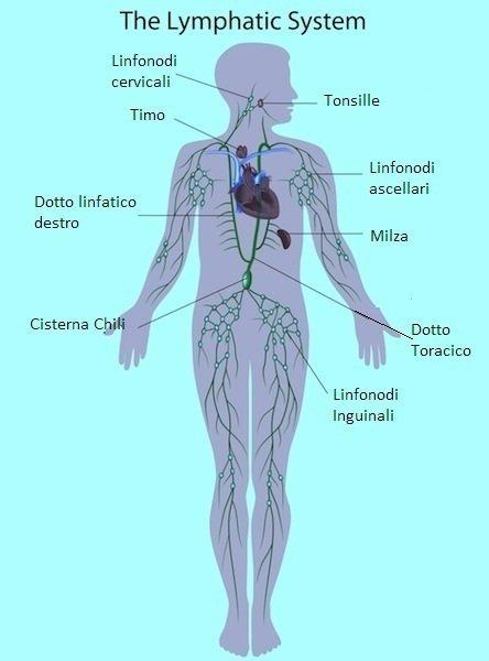 linfatico,circolo,linfodrenaggio,massaggio,milza,cuore,vene,arterie