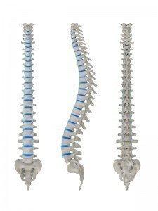 anatomia vertebra, nervo, muscolo, fisioterapia e riabilitazione, schiena, lombare, sacrale, neuropatia, discopatia, ernia del disco, protrusione, bulging, colonna, disco, radice nervosa, anulus fibroso, nucleo polposo, processi articolari, lordosi, cifosi, gobba, foro vertebrale, midollo spinale, processo spinoso, tratto