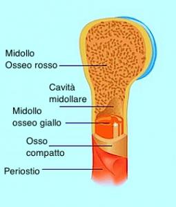 osso,periostio,spugnoso,compatto,midollare