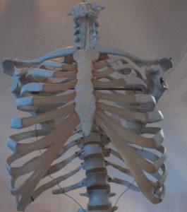 gabbia toracica, clavicole, vertebre dorsali, torace, dorso, clavicola, scapola, anatomia, fisioterapia e riabilitazione, cartilagini costali, articolazioni, ossa, muscoli, nervi