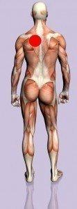 anatomia, corpo, dorsale, CERVICALE, lombare, nervo, muscolo, dorso, neuropatia, colonna, rachide, connettivo, aderenze, contrattura, stiramento, strappo, scapola, interscapolare, D1, D2, D3, D4, D5, D6, D7, D8