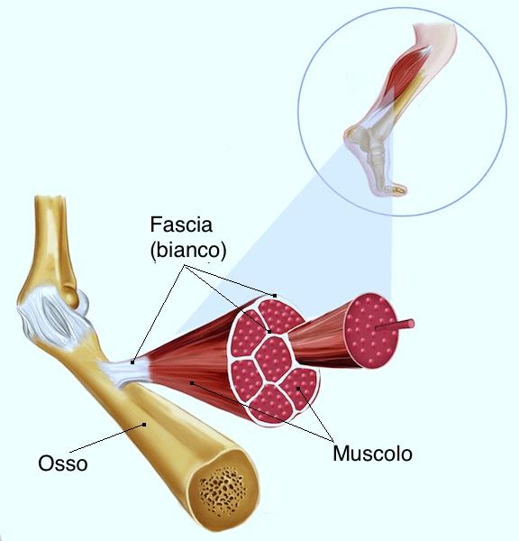 fascia,muscoli,ossa,tendini,struttura,anatomia,manipolazione,funzionamento