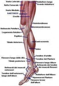 anatomia muscoli, mediali, interni, coscia, adduttori, polpaccio, gastrocnemio, soleo, tibiale posteriore, achille, sportivi, palestra, calciatori, atleti, pallavolo, basket, tennis, ciclismo.