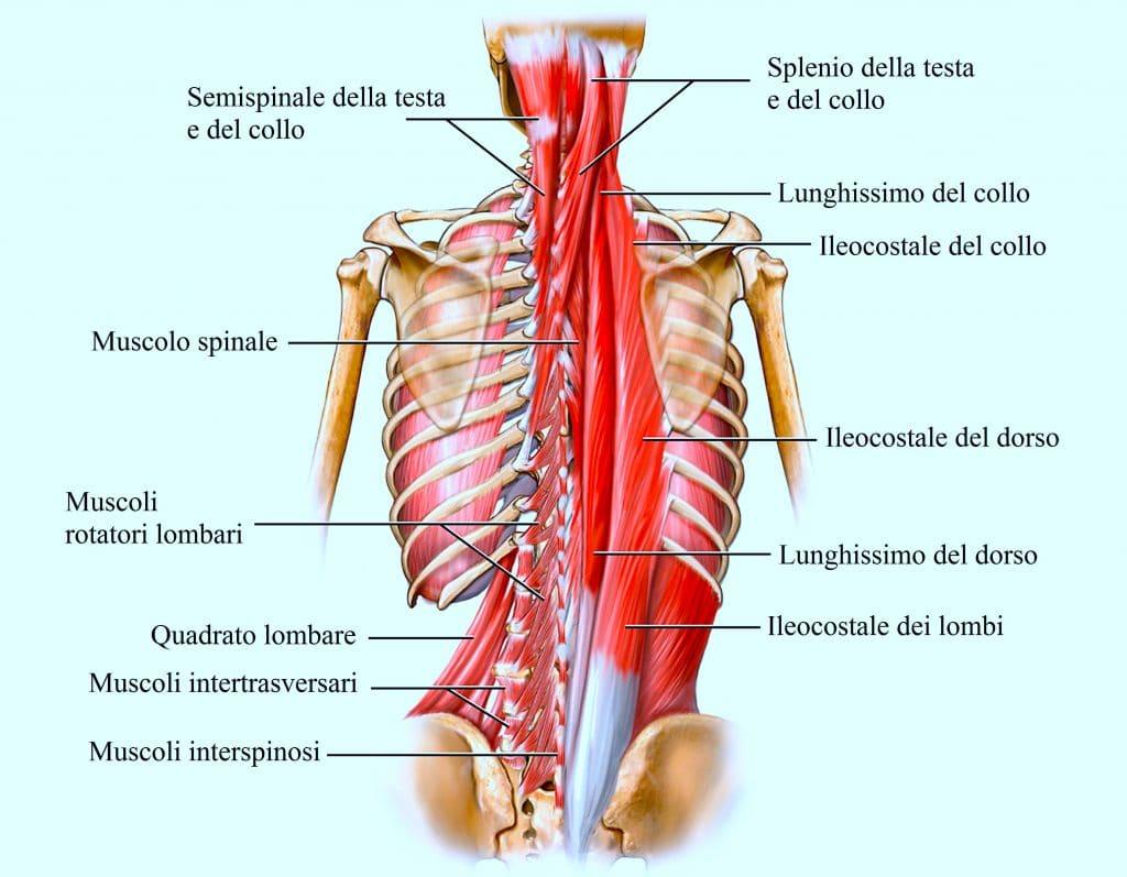Muscoli del dorso,semispinale,ileocostale,lunghissimo,splenio