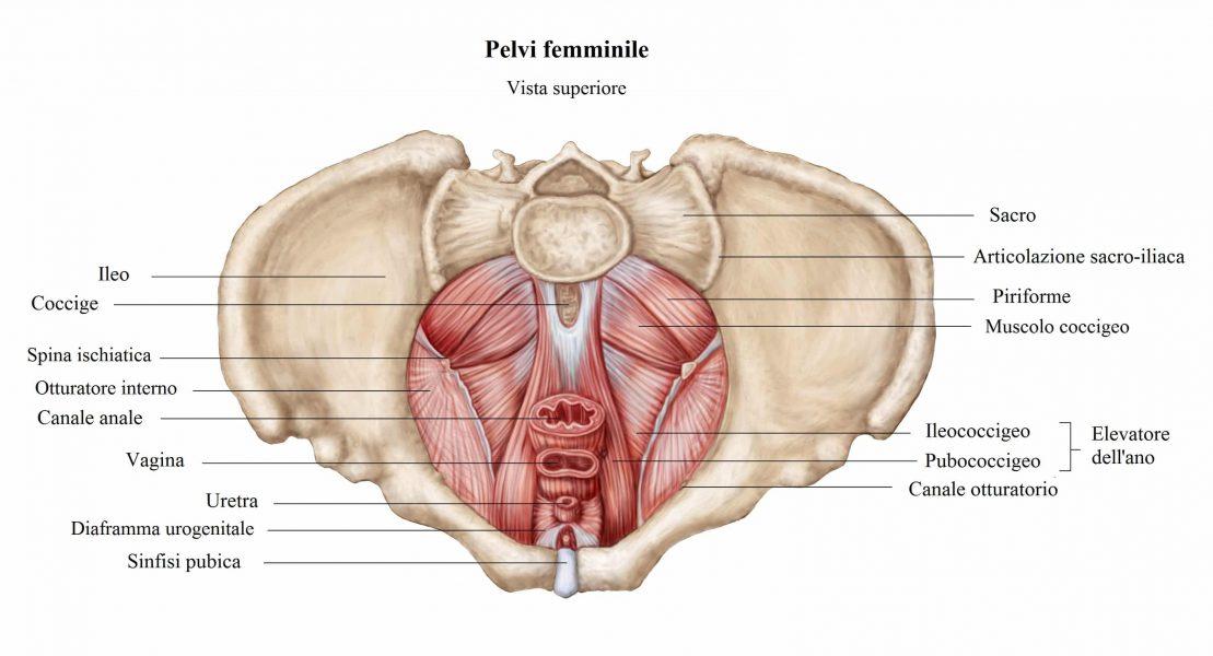 Riabilitazione perineale,pavimento pelvico,elevatore dell'ano