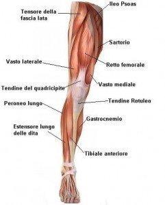 anatomia muscoli, anteriori, davanti, coscia, quadricipite, tibiale anteriore, rotula, tendine rotuleo, soleo, tibiale posteriore, achille, sportivi, palestra, calciatori, atleti, pallavolo, basket, tennis, ciclismo.