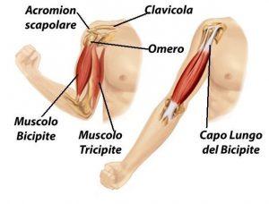 Anatomia, spalla, bicipite, omero, scapola, clavicola, tricipite, fisioterapia e riabilitazione, sollevare avambraccio, attivo, flessione, piegamento, borsa, muscoli, ematoma, infiammazione, male, stilettata