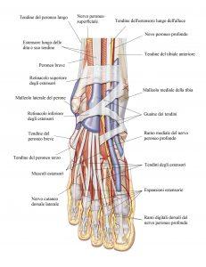 Metatarsi,tendini,caviglia,retinacolo,borsa