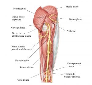 Muscoli glutei,coscia,nervo sciatico