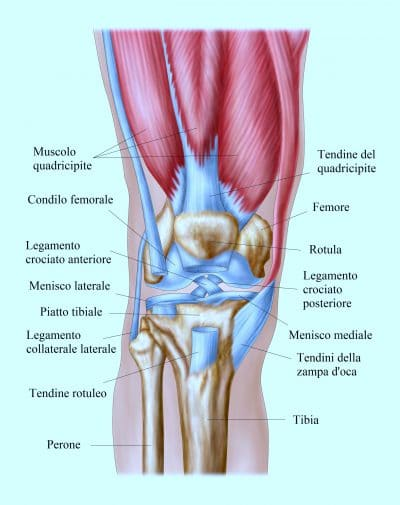 Anatomy of human knee joint.