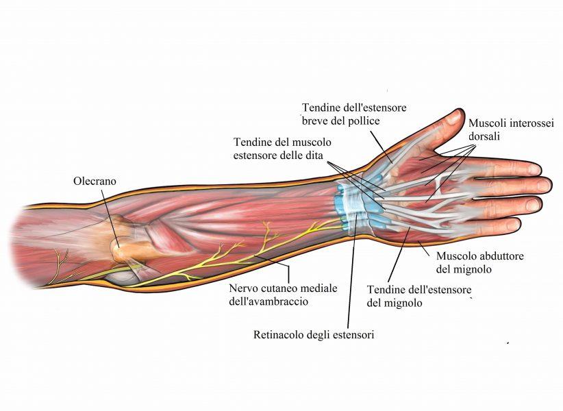 Olecrano,muscoli dell'avambraccio,tendini