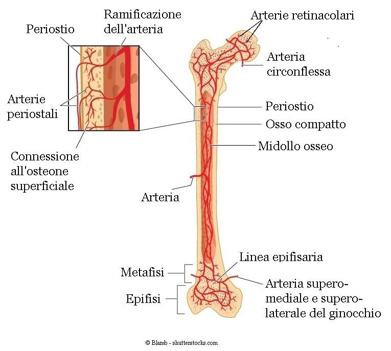 arterie-testa-femore