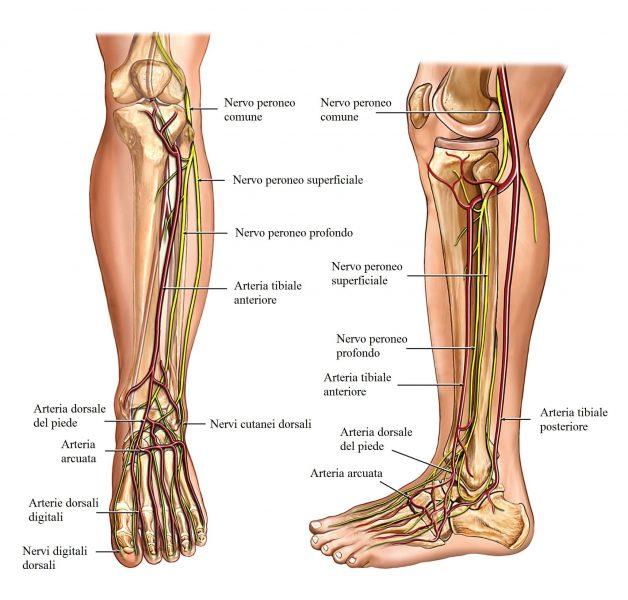 nervi del piede,peroneo