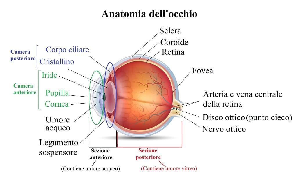 Occhio,camera anteriore,posteriore,corpo ciliare,iride,cristallino
