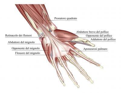 Flessori delle dita,tendini,muscoli,dupuytren