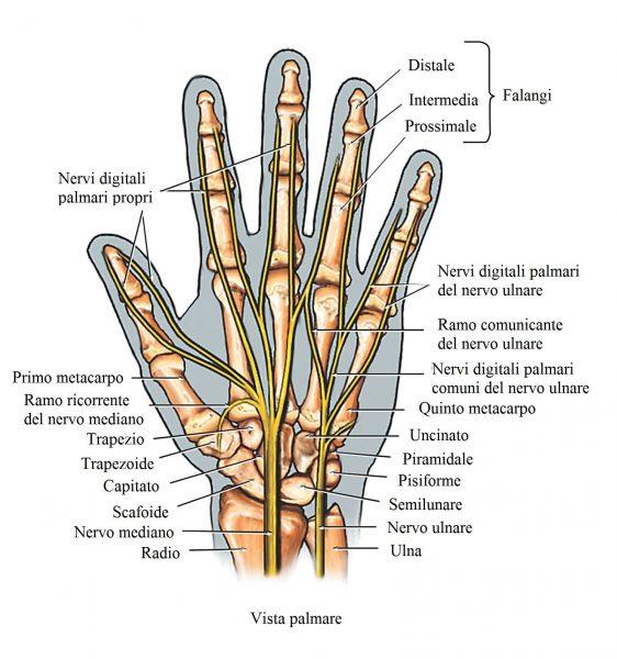 Mano,ossa,anatomia,nervi,ulnare,radiale,dita