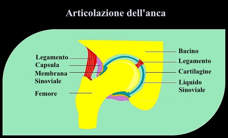 articolazione,anca,cartilagine,membrana,sinoviale,femore