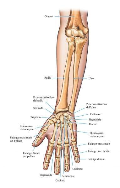 ossa della mano,dita,polso,avambraccio