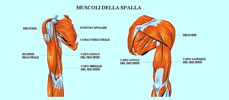 muscoli,spalla,bicipite,deltoide,tricipite