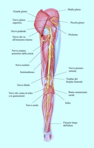 Nervo sciatico,gamba,posteriore