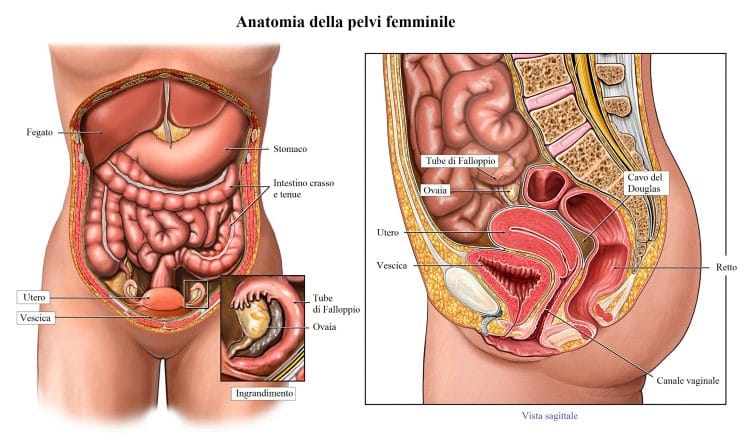 utero,ovaie,tube di fallloppio