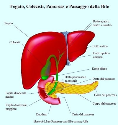 fegato, colecisti, pancreas e passaggio della bile