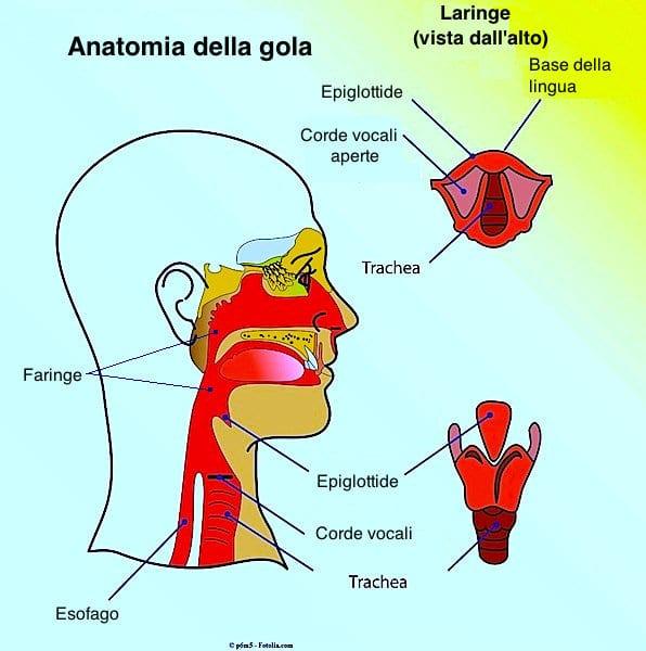 Tumore alla gola,anatomia,faringe,laringe