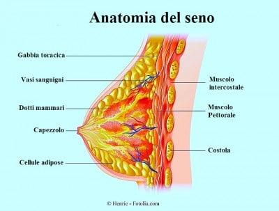 Illustration showing the female breast anatomy