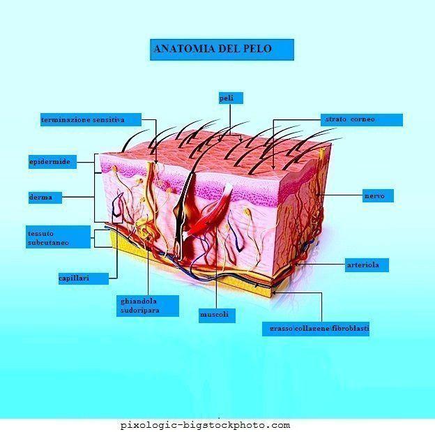 Anatomia,pelle,lichen,planus