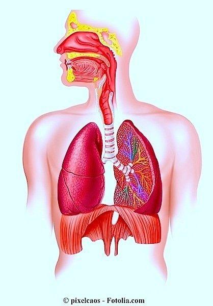 Polmoni,apparato respiratorio