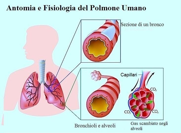Polmone,alveoli,tosse