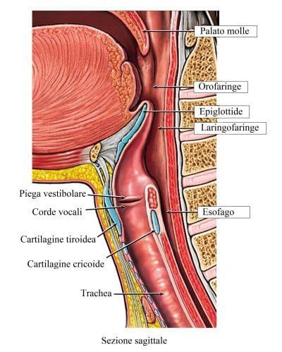 Laringe,corde vocali,ugola,esofago