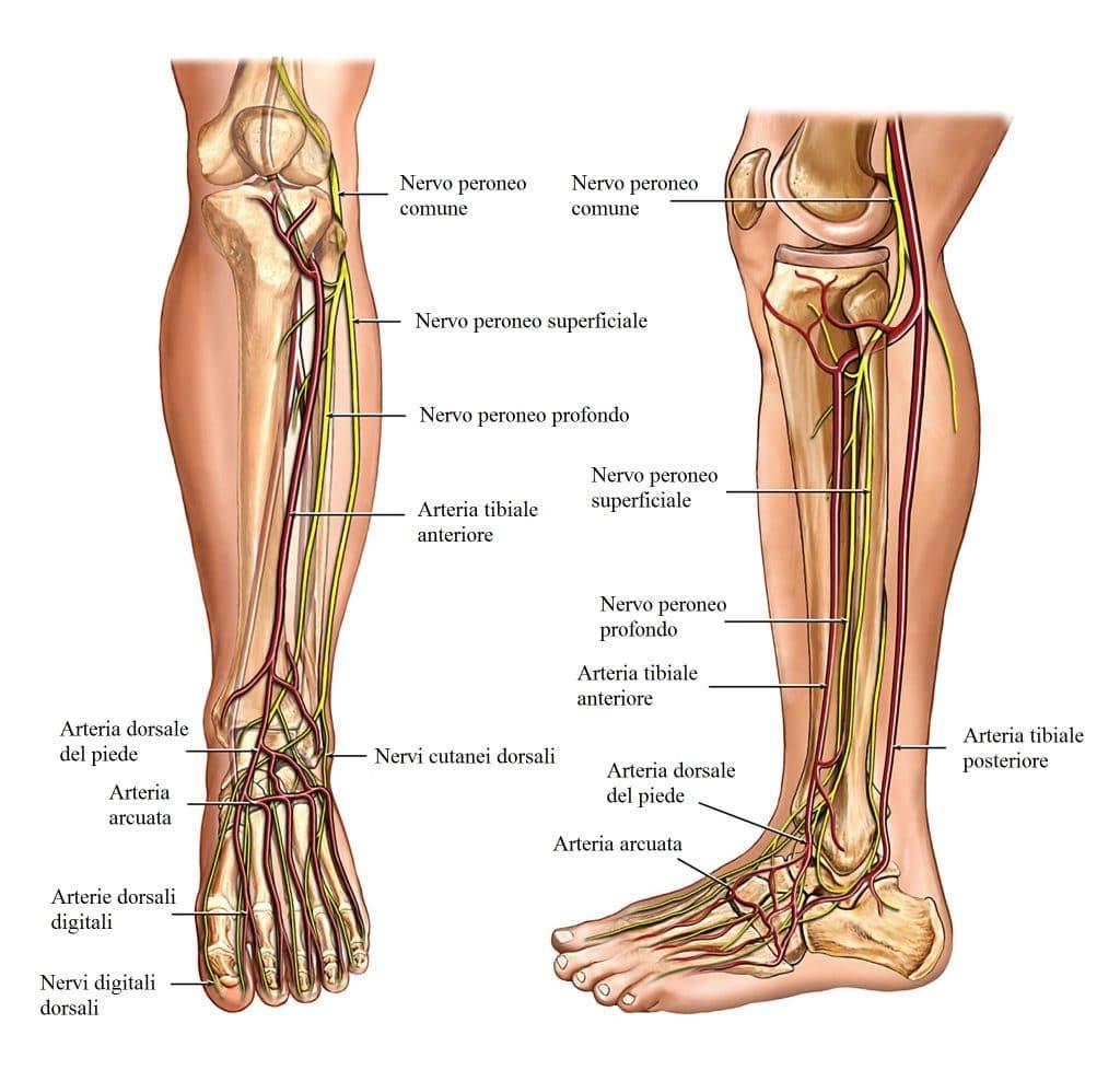 Arterie,gambe,caviglia,circolazione