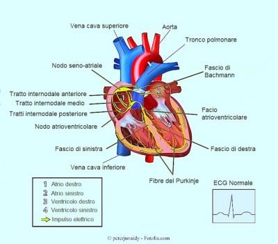Extrasistole,conduzione elettrica,cuore,atrio,ventricolo