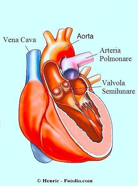 Cuore,anatomia