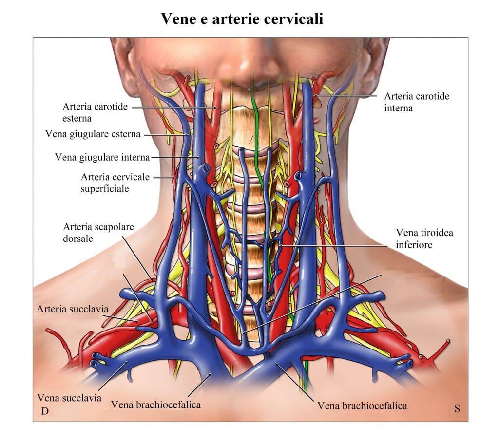 Arterie carotidi,vena giugulare,tiroide,colonna vertebrale