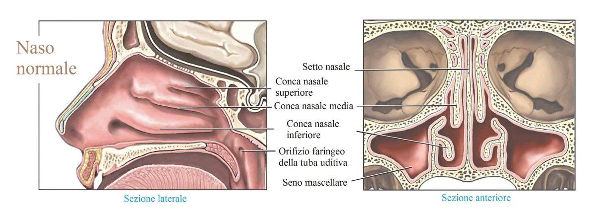Naso,setto nasale,setto mascellare,conca