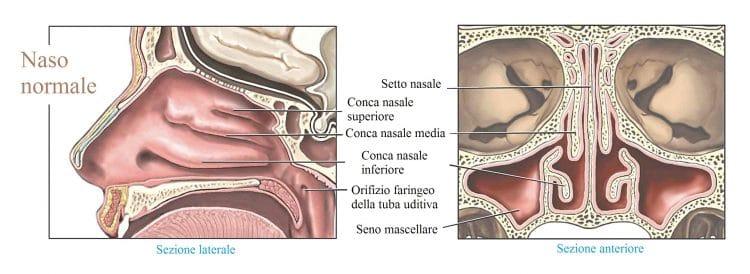 Ossa dello zigomo del naso e della mascella for Interno naso