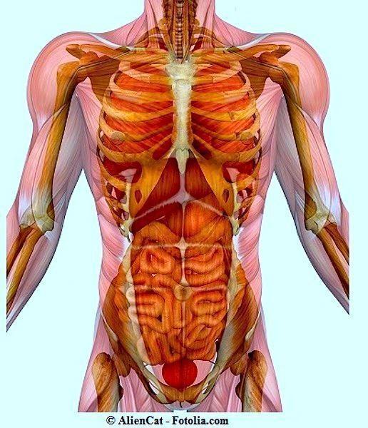 Anatomia,addome,petto,pelvi