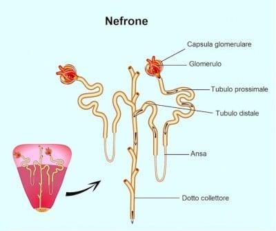 Insufficienza renale cronica o acuta