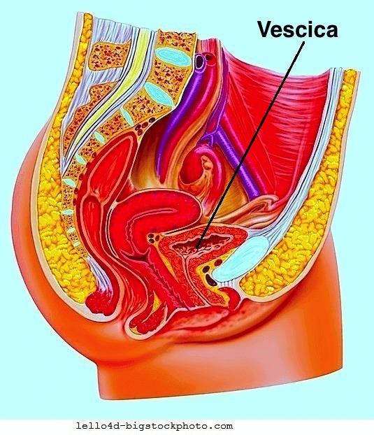 Prolasso della vescica,anatomia,utero,vagina