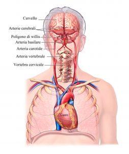 Arterie cervicali, carotidi,cerebrali