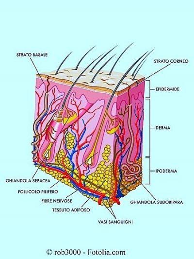 derma,epidermide