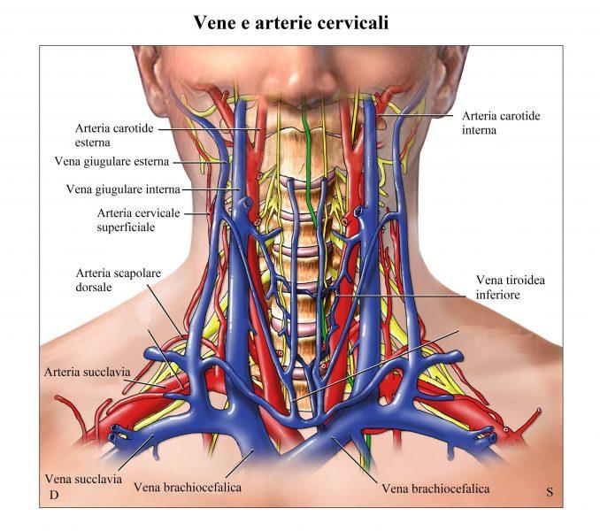 Carotidi,giugulare,colonna cervicale