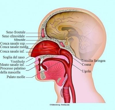 Dolore ala naso,anatomia,seni,gola,turbinati,bocca