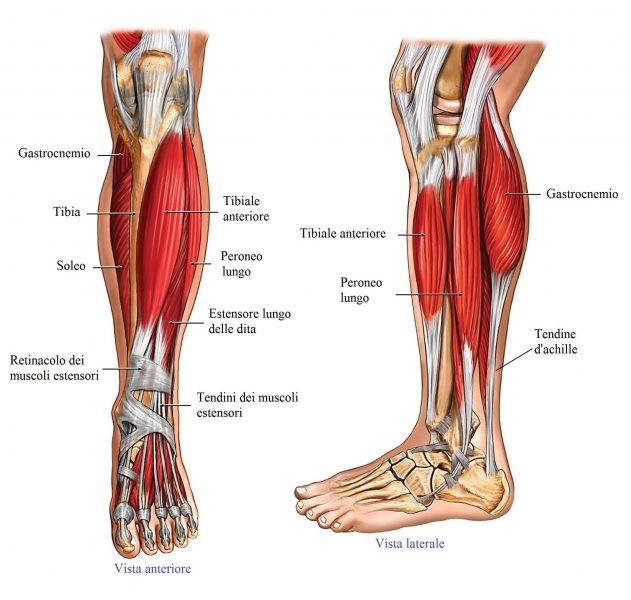 anatomia gamba,muscoli,tendini