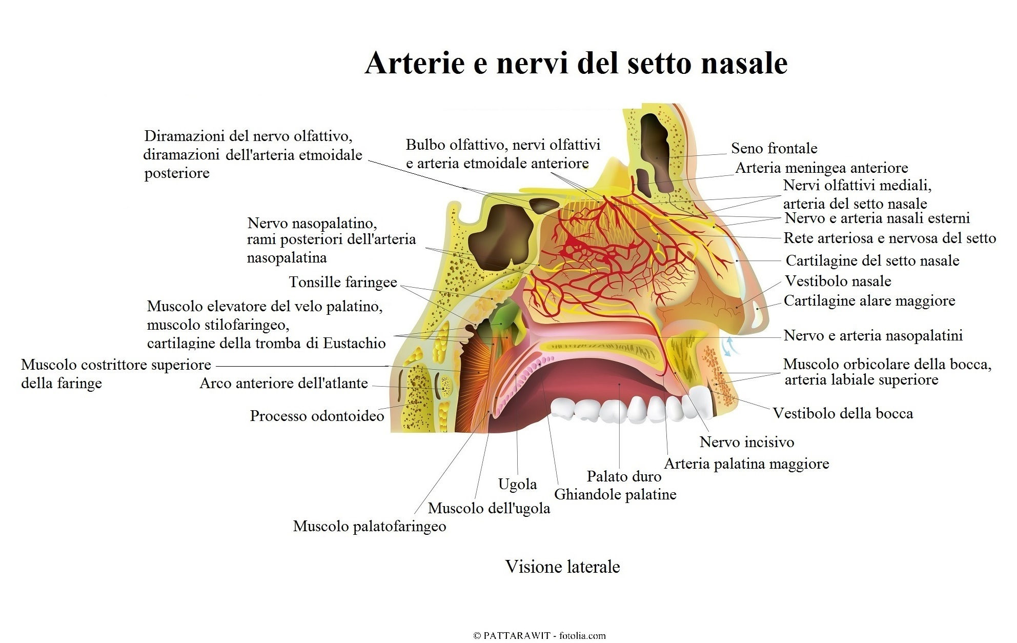 setto-nasle-Arterie-nervi